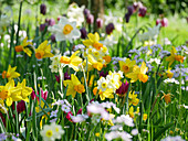 Narcissus, wild tulips and lady's smock in field of flowers in spring