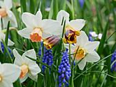 Narcissus 'Reggea', Fritillaria michailovskyi and grape hyacinths