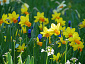 Narcissus 'Jetfire' and lady's smock in field of flowers in spring