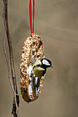 Great tit on bird feeder