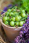 Terracotta plant pot of unripe cherries