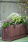 Rusty metal box planted with forget-me-nots, alyssum and thrift