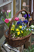 Spring basket of narcissus, tulips, grape hyacinths and reticulated iris