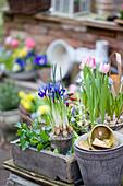 Springtime arrangement of reticulated iris, tulips and grape hyacinths
