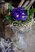 Blue spring primula planted in glass goblet