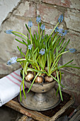 Grape hyacinths planted in metal goblet