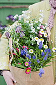 Woman carrying paper bag containing grape hyacinths, bellis, snake's head fritillaries and white forget-me-nots