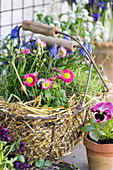 Spring arrangement of bellis, thrift and grape hyacinths and straw in basket next to viola in terracotta pot