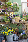 Spring arrangement of violas, narcissus, grape hyacinths and standard rosemary