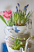 Spring in the kitchen with grape hyacinths planted in cups