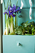Reticulated iris and ivy planted in open drawer