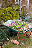 Wheelbarrow of spring flowers ready for planting out in garden