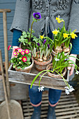 Woman holding wooden crate of bellis, narcissus, poppy anemone, crocus and star-of-Bethlehem in terracotta pots