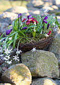 Basket of wire vine planted with star-of-Bethlehem, crocus, bellis, snowdrop and grape hyacinth