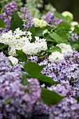 White and purple lilac