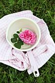 Rosafarbene Rosenblüte mit Blätter in Stielkasserolle