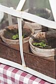 Basil seedlings in vintage propagator