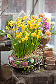 Easter arrangement of narcissus 'Tete a Tete' in wreath of eggs in chicken wire