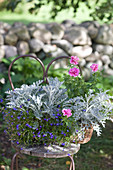 Contrasting colours of silver ragwort, lobelia and petunia