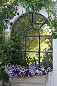 Windowbox of lobelia, million bells and voilas below window surrounded by ivy