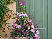 Clematis 'Alaina', decorative sage Rockin 'Fuchsia' and coral bells 'Stormy Seas' in tubs