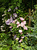 Clematis' Innocent Blush ', Clematis' Mrs. Cholmondeley ', Clematis' Innocent Glance' (left to right)