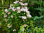 Double blooming clematis 'Innocent Glance'