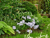 Shade bed with forest phlox 'Clouds of Perfume', funkie 'Francee', Solomon's seal 'Weihenstephan', ferns and pointed fritillaries