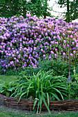 Rhododendron Hybride 'Catawbiense Grandiflorum'