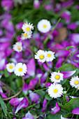 Daisies in flowering lawn