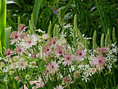 Flowerbed of astrantia and star-of-Bethlehem 'Sochi'