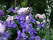 Frühsommerbeet mit Glockenblume 'Blue Bloomers', Pfingstrose, Zierlauch und Dekostecker