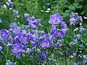Campanula 'Blue bloomers'