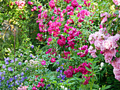 Roses ('Super Excelsa', 'Super Fairy') and campanula in garden