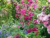 Rosen ('Super Excelsa', 'Super Fairy') und Glockenblumen im Garten
