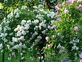 Rambler rose 'Christine Helene' as a stem rose