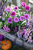 Asters, prickly heath and budding heather in a wooden box