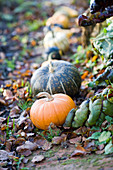 Pumpkins in the autumn garden