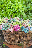 Colour mix of hydrangea flowers in a basket