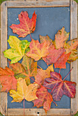 A picture made of coloured maple leaves