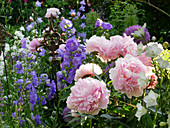 Peony ('Sarah Bernardt'), bluebells and Chives