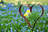 Rusty iron heart in a spring meadow of bluestars and daffodils