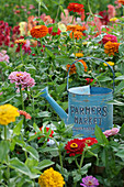 Blue, metal watering can in bed of colourful zinnias