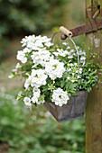 Small tin box with white verbenas, pansies, and Lobelia