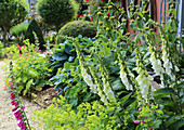 Perennial bed with foxgloves, lady's mantle, hostas and cinderella