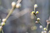 Branches of Cornelian cherry Dogwood