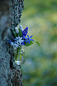 Small bouquet of Pushkinia, grape hyacinths and blue stars on the tree