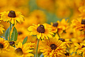 Yellow flowers of black-eyed Susan (Rudbeckia hirta)