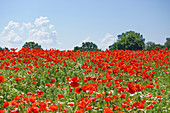 Flower meadow with poppies and chamomiles