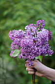 Hand holds bouquet of lilacs